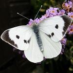 Бабочка-капустница — капустная белянка
