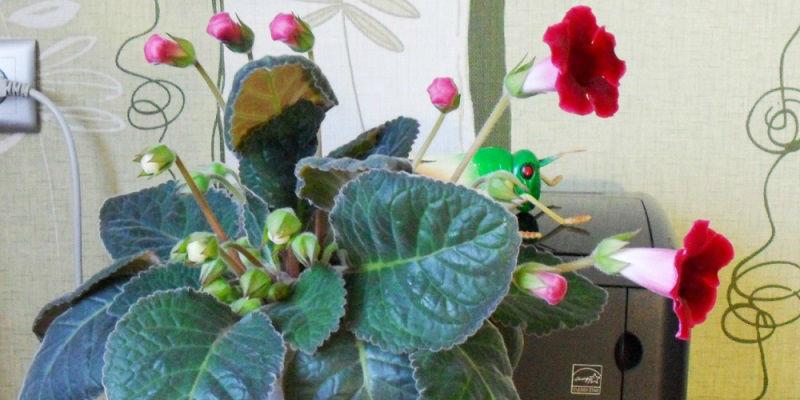 Глоксиния с первыми цветами в марте