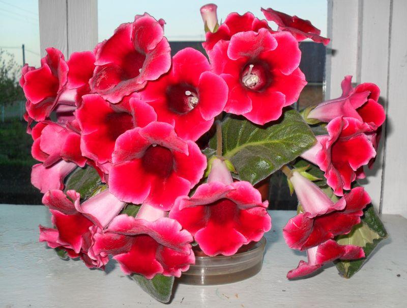 Цветущая глоксиния в апреле