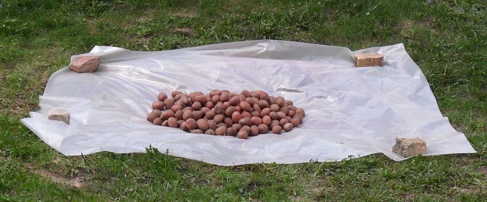 Семенной картофель на пленке до обработки Престижем